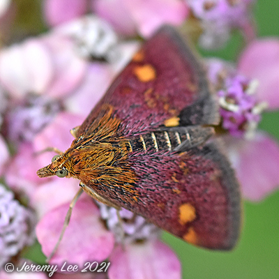 Pyrausta aurata, Mint Moth